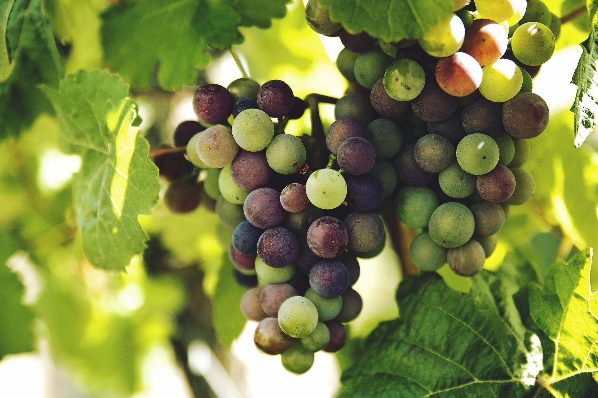 grapes 1246531 1920