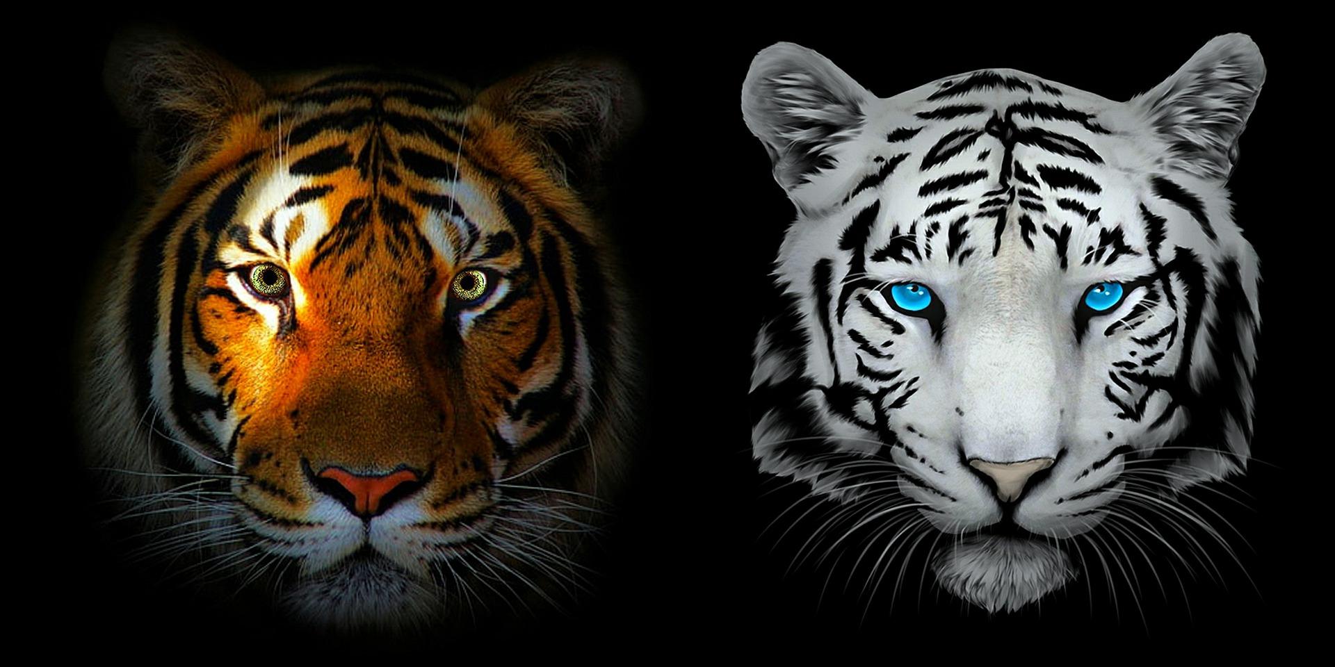 tigers 5681681 1920