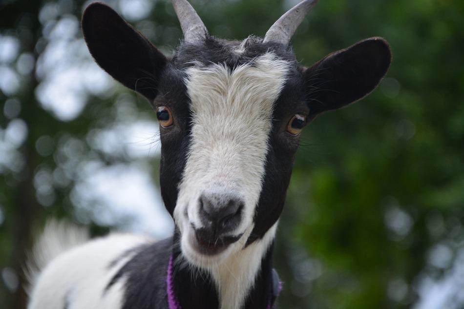 goat 2615424 1920